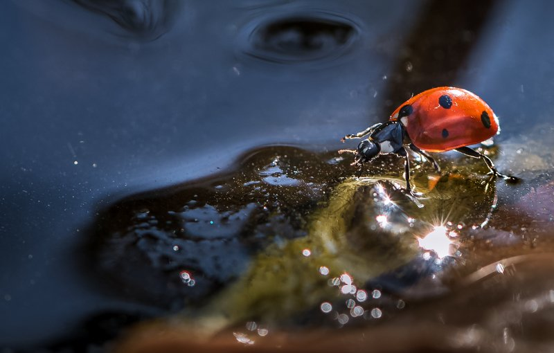 природа, макро, осень, насекомое, жук, божья коровка, пруд, лед По тонкому льдуphoto preview