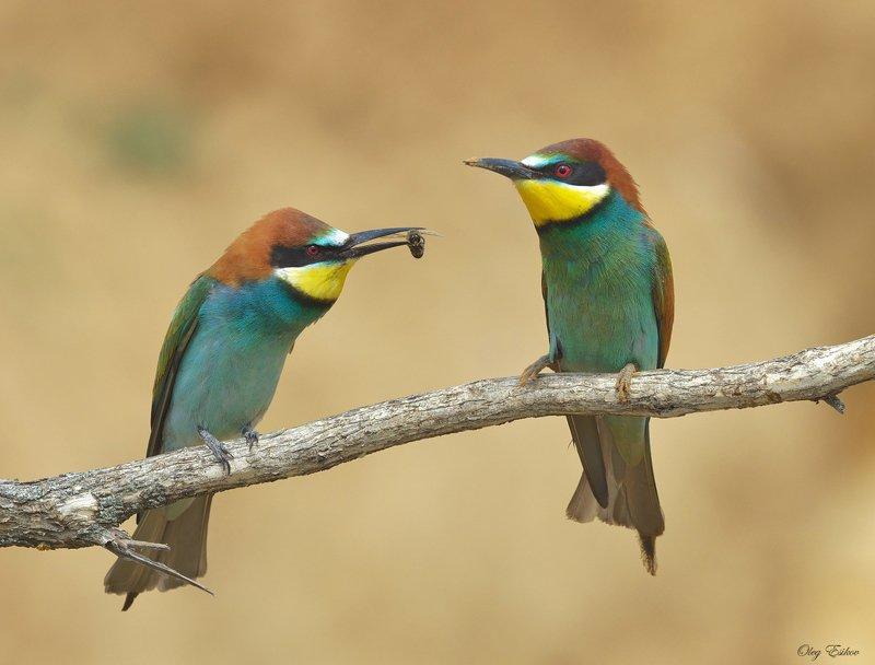 птицы, золотистые щурки, брачные отношения Ах отстаньте, я замужемphoto preview