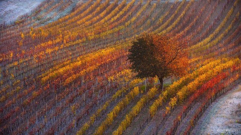 чехия, моравия, рассвет, виноградники, czech, moravia, morava, sunrise, vineyard Моравское морозное утроphoto preview