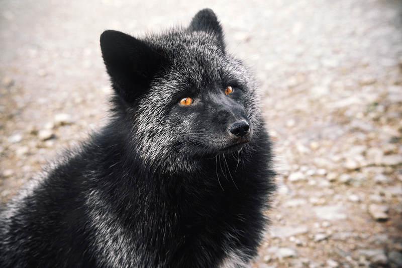 лиса животные  Чернобурычphoto preview