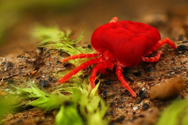 клещ макро природа красный цвет черный коричневый зеленый  Кранотелкаphoto preview