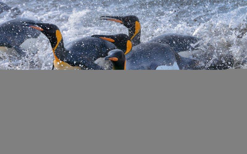 falkland island, islas malvinas, king penguin, rockhopper penguin, elephant seal, magellanic penguin, macaroni penguin, gentoo penguin, black-browed albatross, southern giant petrel Серферыphoto preview