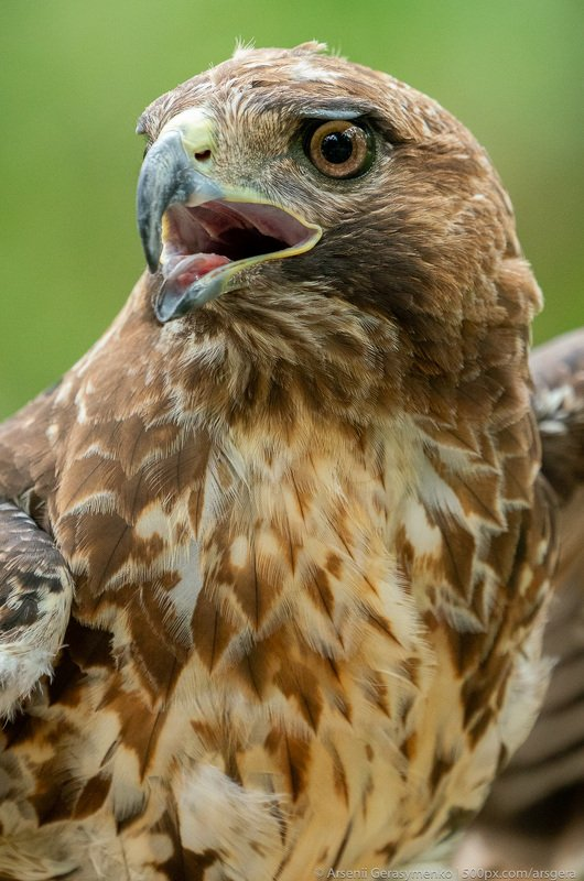 buteo jamaicensis; cuba; america; animal; background; beak; bird; brown; buteo; close; closeup; color; eagle; eye; feather; flight; fly; flying; hawk; hawks; head; hunter; jamaicensis; nature; outdoors; portrait; predator; prey; profile; raptor; red; red- red-tailed hawk or Buteo jamaicensis close-up portrait. Wildlife photophoto preview