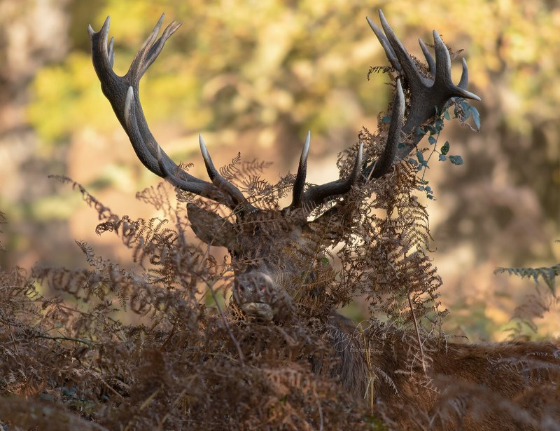 Red Deer Stagphoto preview