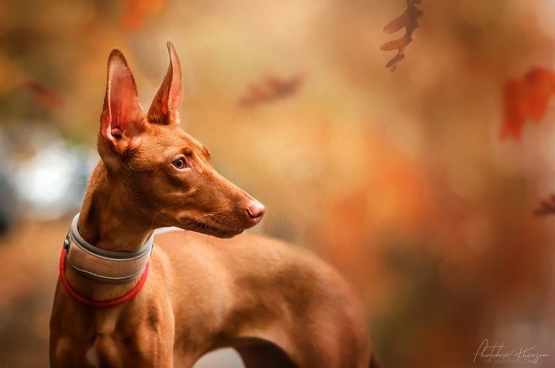 собака, анималистика, осень, портрет Осеньphoto preview
