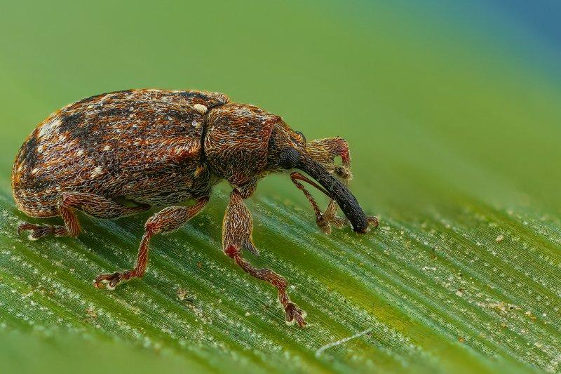 жук макро природа нос цвет  коричневый зеленый  Носачphoto preview