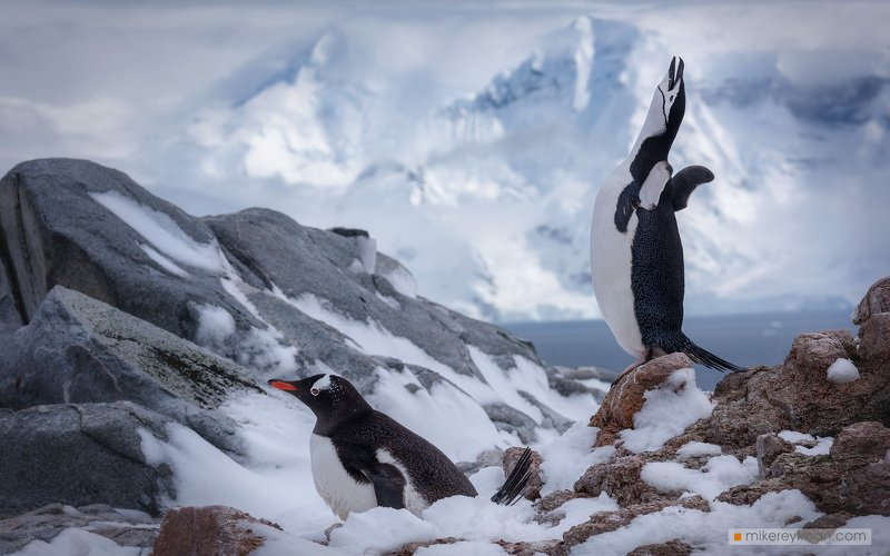 dramatic, polar climate, antarctic, antarctica, cold, romantic, extreme, gentoo penguin, chinstrap penguin Два Пингвинаphoto preview