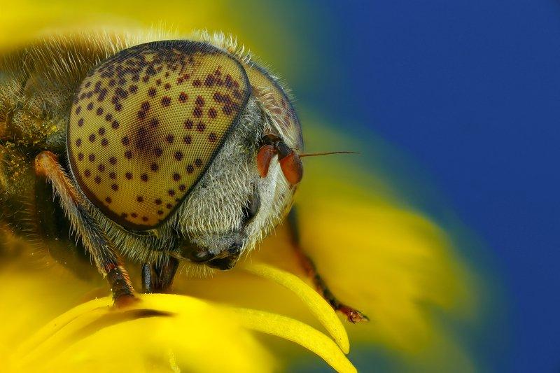 муха макро природа глаза цвет коричневый синий желтый Пятнышкиphoto preview