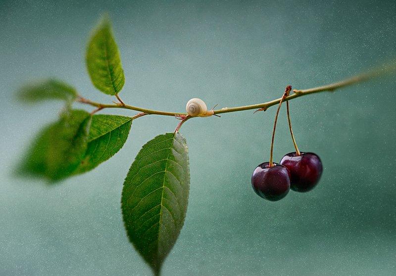 украина, коростышев, природа, макро, макро красота, макро мир, улитка, вишня, листочек, зеленый, лес, счастье, жизнь, вдохновение, фотограф, чорный, \