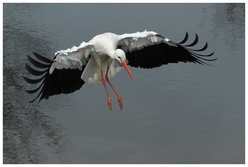 белый аист, полет, ciconia ciconia, action, flight, the netherlands Белый аист длинноногийphoto preview