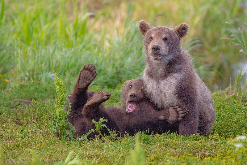 камчатка, медведь, природа, путешествие, фототур, лето, животные Замри нас снимают!!!photo preview