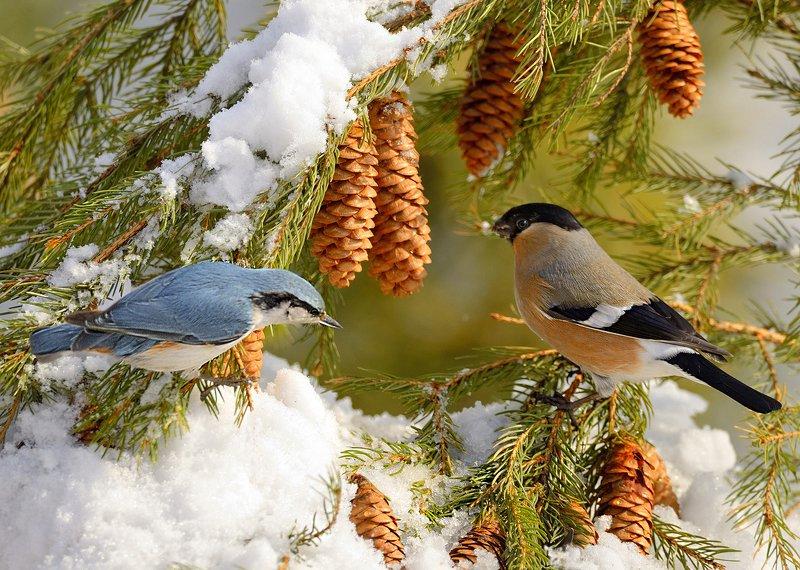 природа, фотоохота,  птицы, животные, снег, шишки, поползень, снегирь Лесные встречиphoto preview