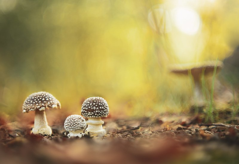mushroom, amanita, nature, light, bokeh The amanitas pantherina familyphoto preview