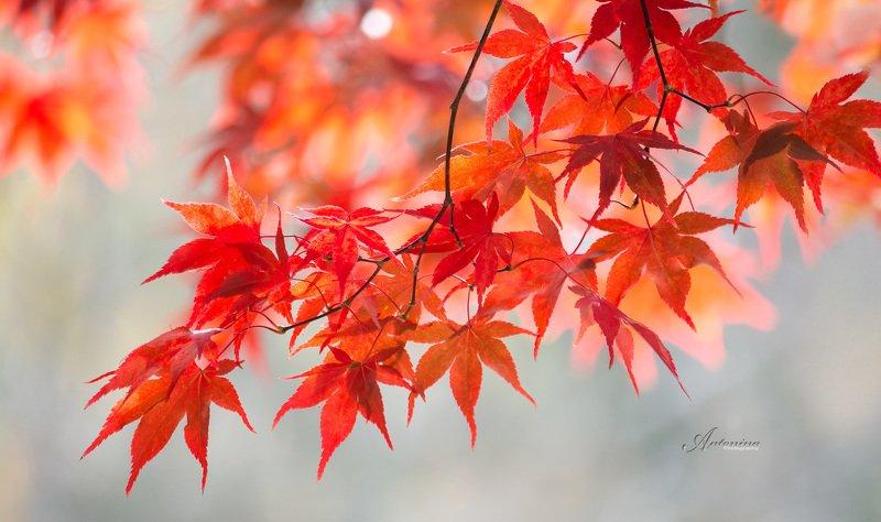макро,природа,растения,листья,свет,,осень,клён,красный, Закружила осень...photo preview