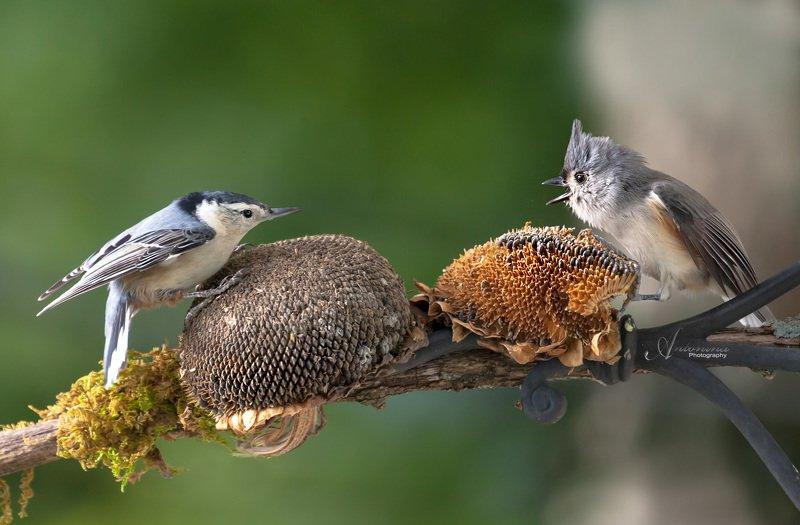 животные,птицы,природа,лето,фотоохота,подсолнухи,острохохлая синица поползень, Кто первый сел, того и семечки!photo preview
