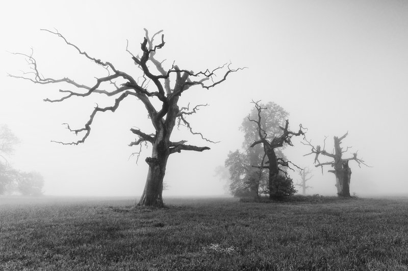 tree, nature, landscape, winter, trees, sky, silhouette, branch, fog, white, black, bare, season, forest, isolated, branches, field, wood, dead, spring, snow, lonely, outdoor, autumn, old Old oaks in Rogalin on a foggy morning.photo preview