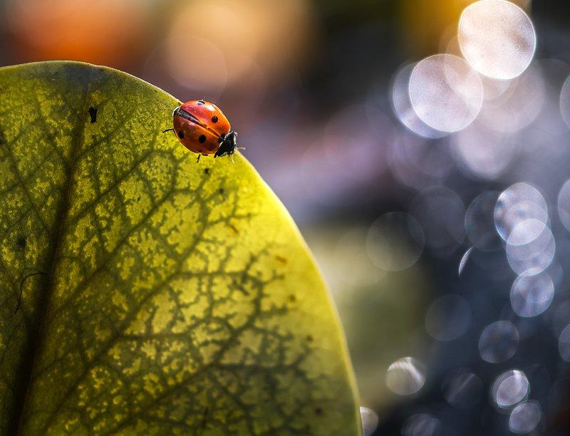 природа, макро, осень, насекомое, жук, божья коровка, пруд, лед, лист водяной лилии, контровый свет С чистого листаphoto preview