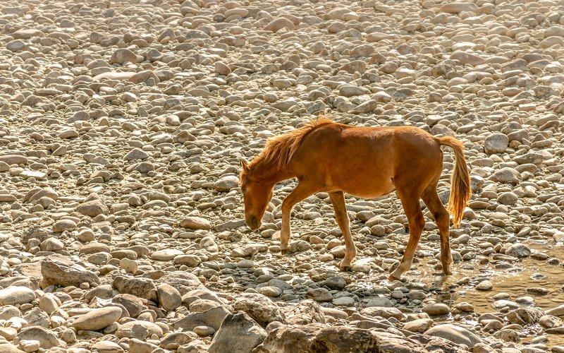 горы, алтай, горный алтай, ник васильев, красота, конь, лошадь, утро, Золотая лошадь.photo preview