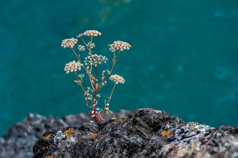 горы, алтай, горный алтай, ник васильев, красота, река, катунь, цветы, бирюза, Катуньский букет.photo preview