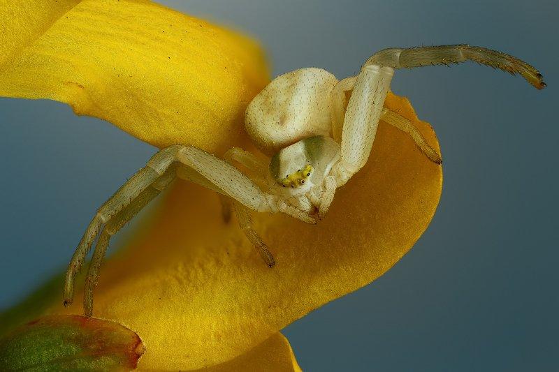 паук макро природа цветок цвет синий желтый Обнимашкиphoto preview