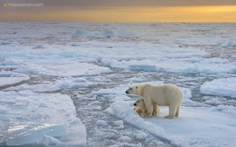 wildlife, dream, svalbard, polar bear, ice, wild, wildlifephotography, wildlife, nature, naturephotography, animals, photography, naturelovers Жизнь на Льдуphoto preview