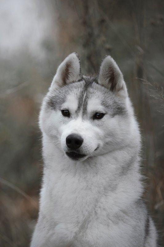 husky, dogs, siberian husky Haruphoto preview