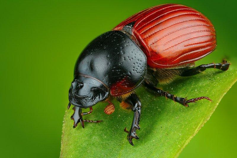 жук макро природа красный цвет черный трава зеленый  Броненосецphoto preview