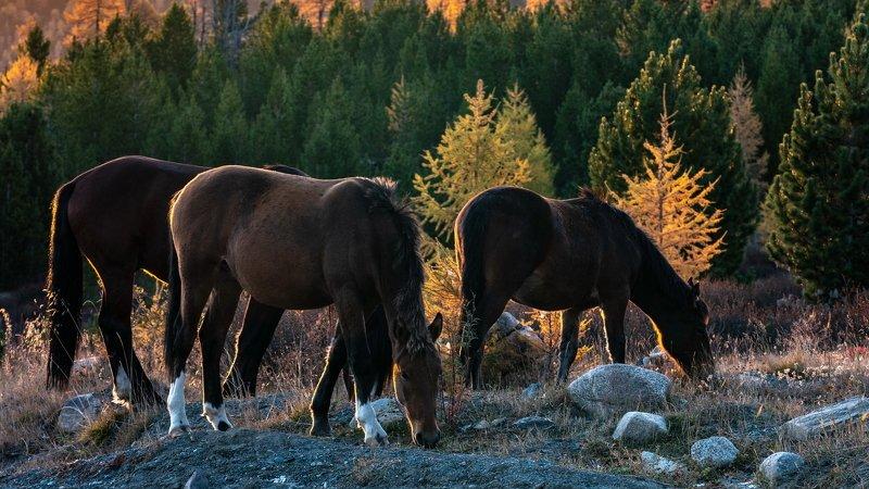 горы, алтай, горный алтай, солнце, утро, рассвет, кони, лошади, животные, красота, ник васильев Кони.photo preview