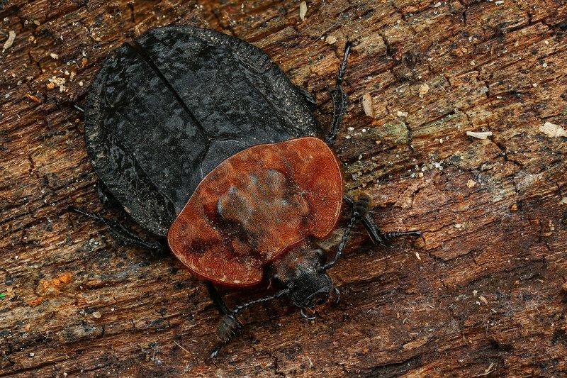 жук макро природа усы цвет черный коричневый  Мертвоедphoto preview