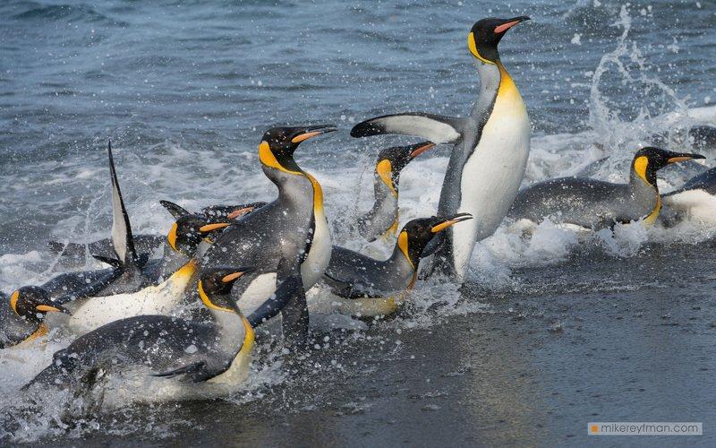 falkland island, islas malvinas, king penguin, rockhopper penguin, elephant seal, magellanic penguin, macaroni penguin, gentoo penguin, black-browed albatross, southern giant petrel Пингвиньи Гонкиphoto preview