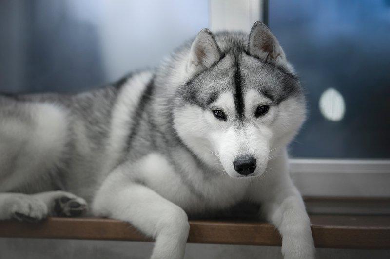 husky, dogs, siberian husky Windowsill ZamZamphoto preview