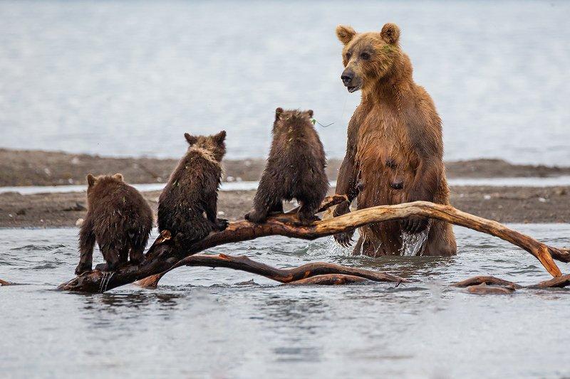 камчатка, медведь, животные, природа, путешествие, фототур, Урок рыбалкиphoto preview