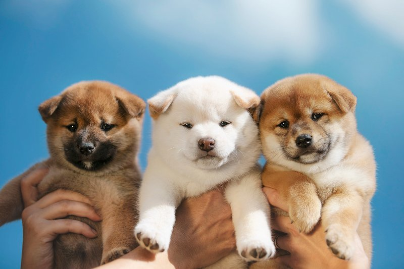 shiba, shiba inu, puppies three puppeteersphoto preview
