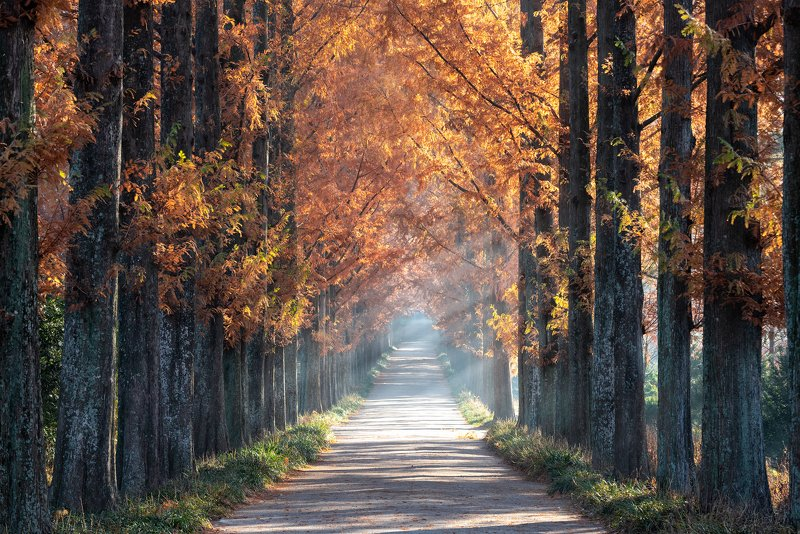 autumn, trees, light, rays, tunnel, path Naju Metasequoia Roadphoto preview