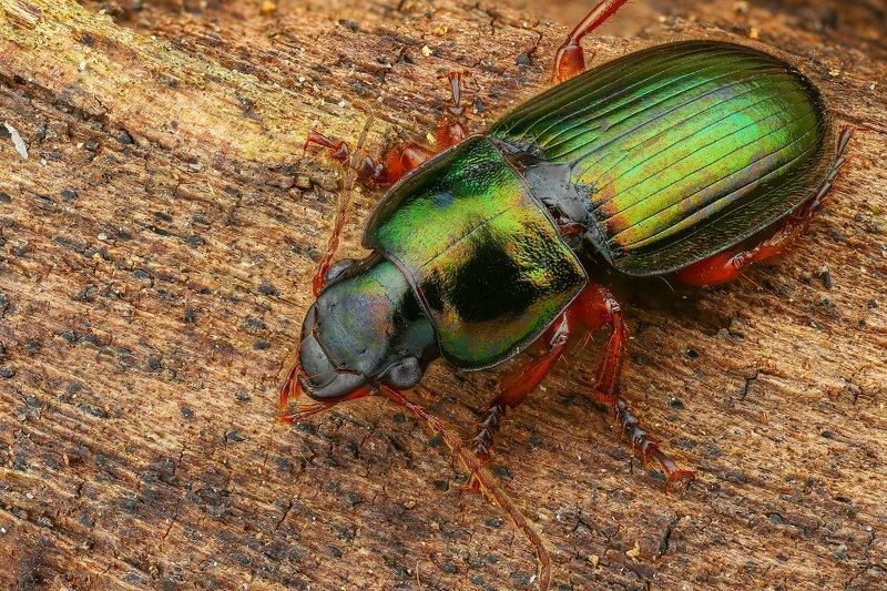 жук макро природа усы цвет черный коричневый зеленый  Изумрудphoto preview