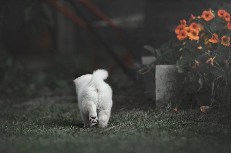 shiba, puppy snowflakephoto preview
