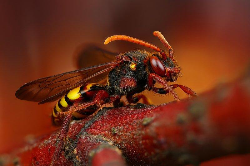пчела макро природа усы цвет черный коричневый красный желтый Номадаphoto preview