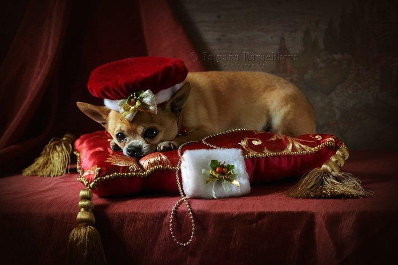 собака, натюрморт, красный, Маленькая собачка в красномphoto preview