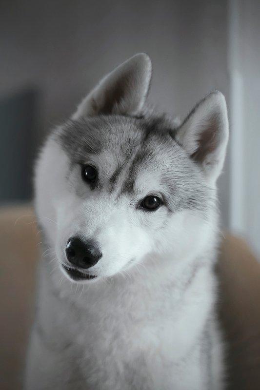 husky, dogs, siberian husky Hakuphoto preview