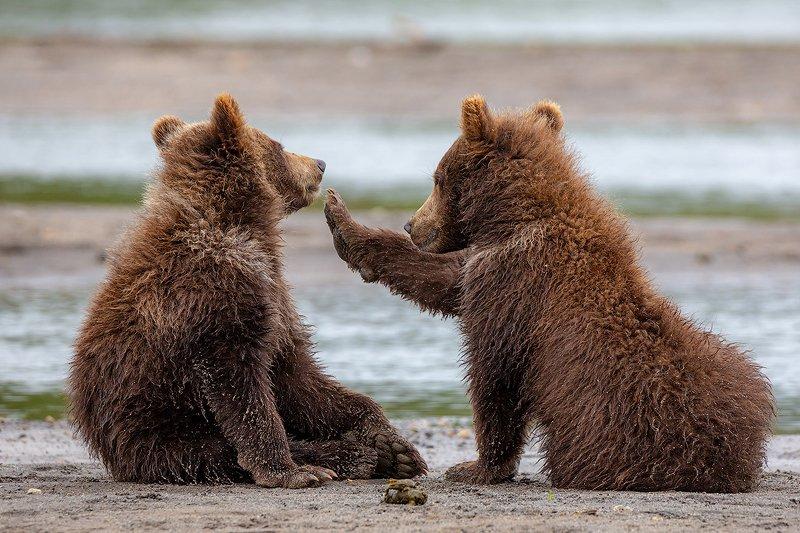 камчатка, медведь, животные, природа, путешествие, фототур, У тебя кто-то в зубах застрялphoto preview