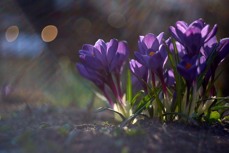 macro, nikon, nature,sigma, цветы, макро, боке Лучики весны...photo preview