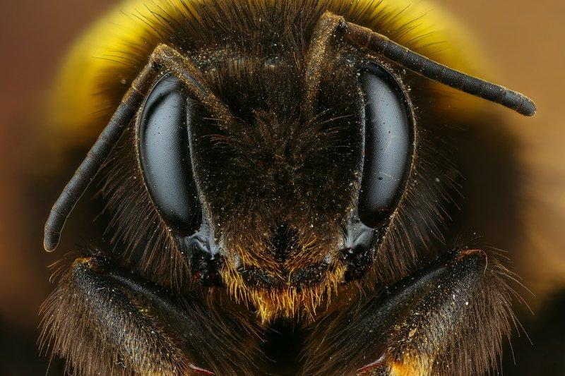 шмель макро природа усы цвет черный коричневый портрет желтый Шмельphoto preview