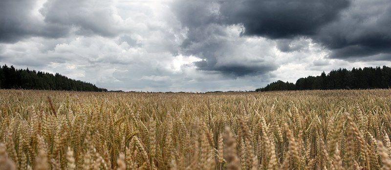 поле, пшеница, небо, лес Поле...photo preview