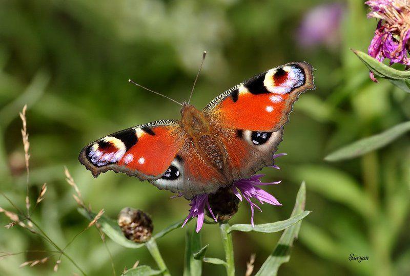 лето, бабочка, цветок Я тебя вижуphoto preview