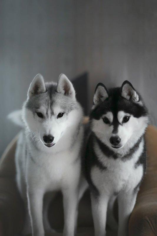 husky, dogs, siberian husky Haku, Meekophoto preview