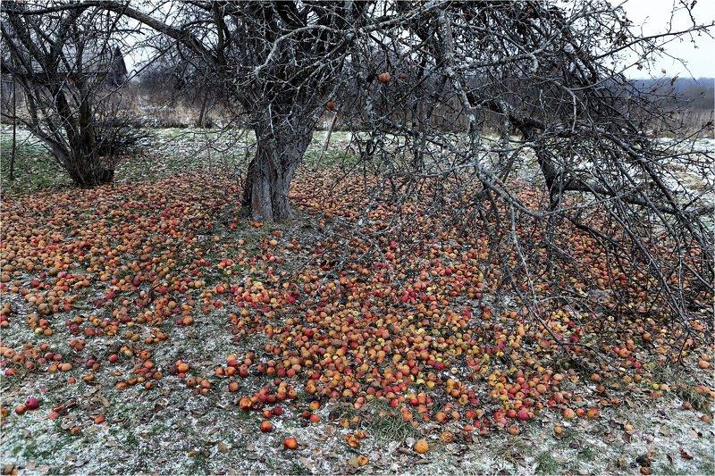 осень, ноябрь, яблоня, яблоки, снег, Урожай.photo preview