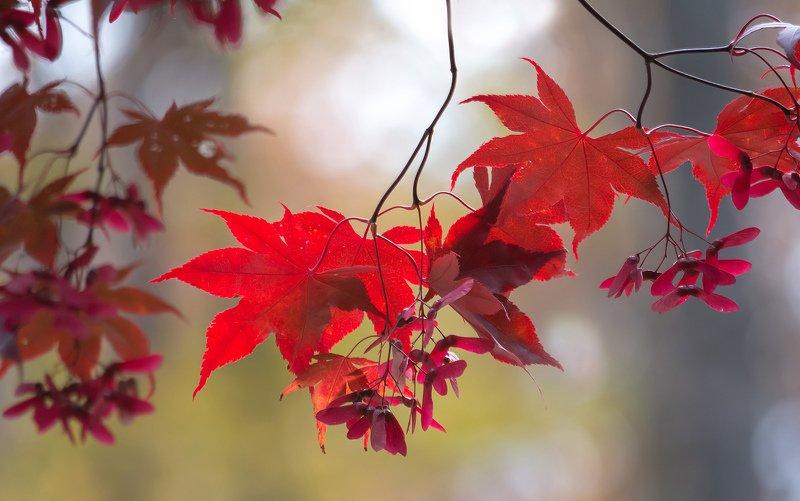 макро,природа,растения,листья,свет,,осень,клён,красный, Снова клён шумит...photo preview