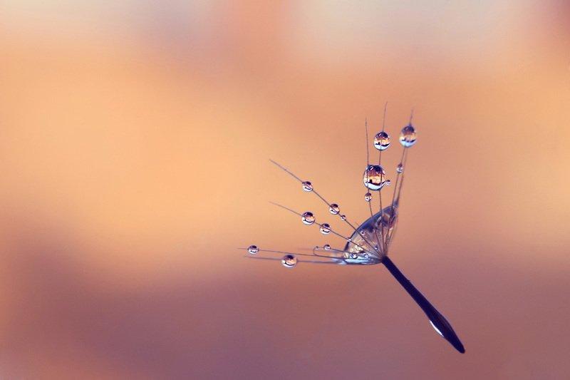 closeup, macro, water drops, dandelion Whisperingphoto preview