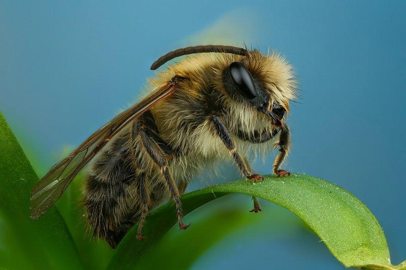 пчела макро природа усы цвет черный серый зеленый синий Пчелкаphoto preview