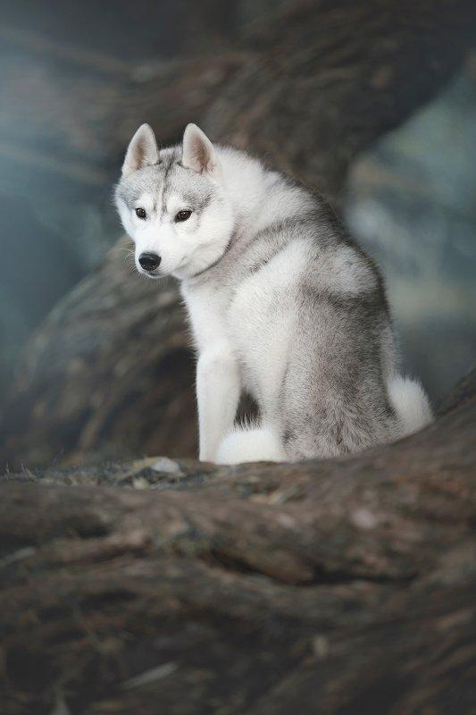 husky, dogs, siberian husky Haku on a logphoto preview